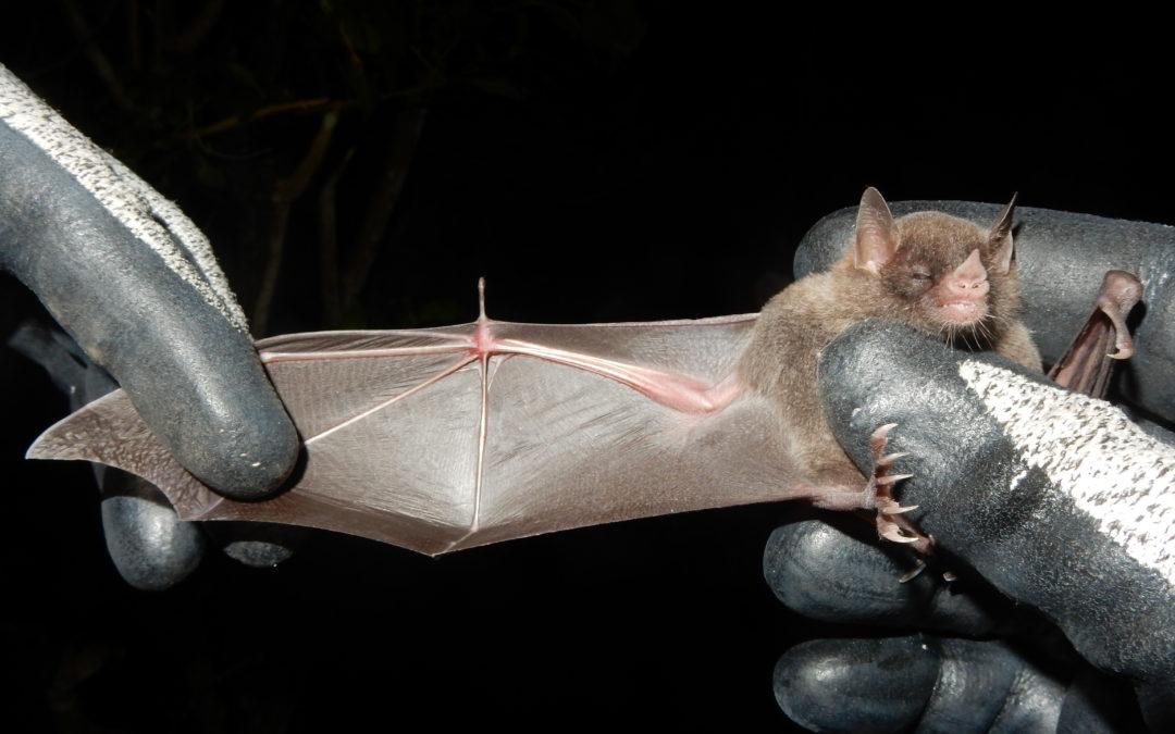 Nieuwe soort vleermuis gevonden bij onderzoek op St. Eustatius