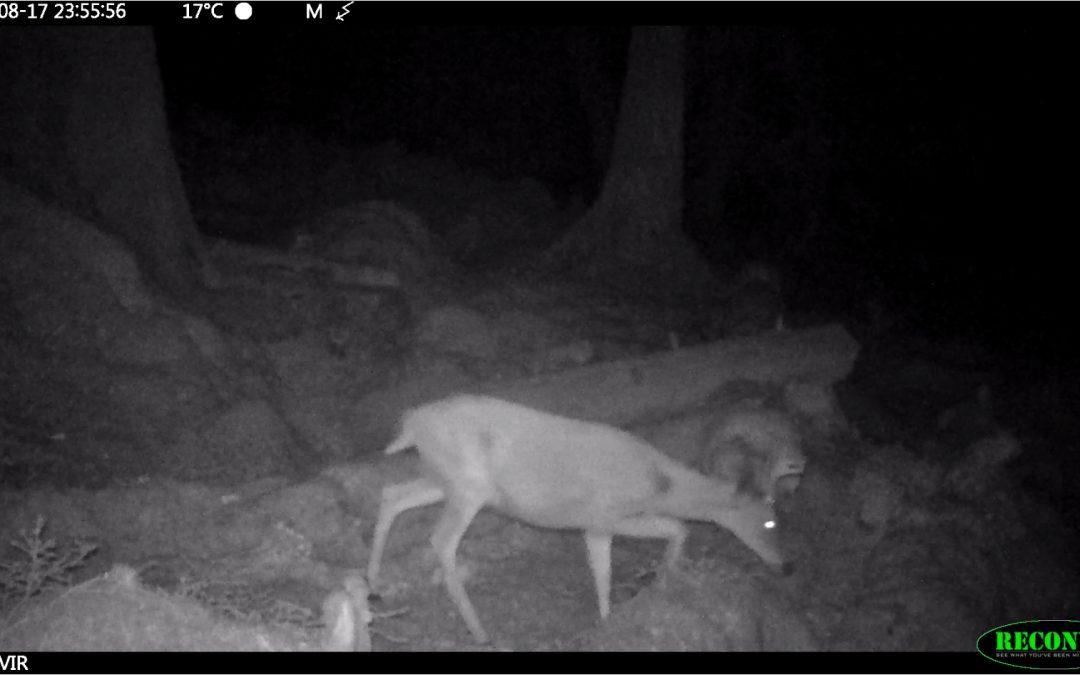 Video: Sitka deer on Haida Gwaii