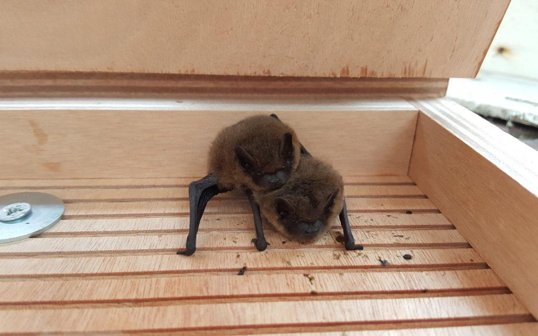 Vleermuizen rond het huis; Ja graag!
