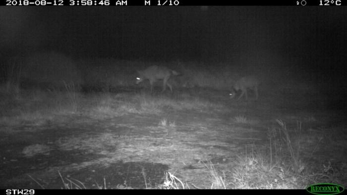 Opvallende looproute van wilde mannelijke wolf August