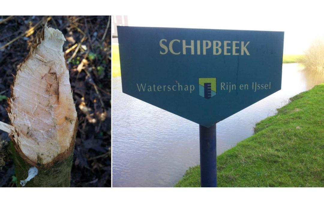 Bevers verspreiden zich buiten het stroomgebied van de IJssel in Zuid-Salland