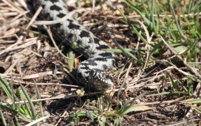 Monitoring van inheemse reptielen, belangrijk en leuk werk!