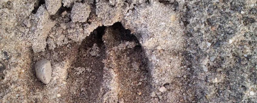 Wilde hoefdieren: herkenning van sporen
